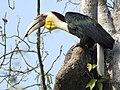 Wreathed hornbill male.jpg