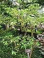 Wrightia religiosa - Hong Kong Park Conservatory - IMG 9833.JPG