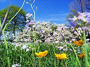 Frühjahrsaspekt auf einer Wiese mit Sumpfdotterblume, Wiesenschaumkraut und im Hintergrund Schlehdorn