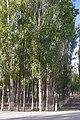 Xinjiang poplar forest landscape IGP4171.jpg