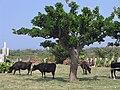 Yaeyama kuroshima beef cattle.jpg