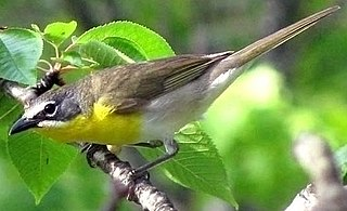 Yellow-breasted chat species of bird