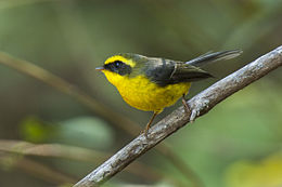 Yellow-bellied Fantail - Corbett NP - India 2149 (19403637826).jpg