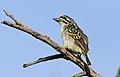 Yellow-fronted tinkerbird, Pogoniulus chrysoconus, at Walter Sisulu National Botanical Garden, South Africa (15820758537).jpg