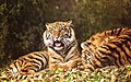 Young Tigers in the Sunshine (34728669202).jpg
