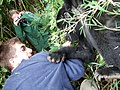 Young gorilla grabs tourist at Volcanoes National Park.JPG