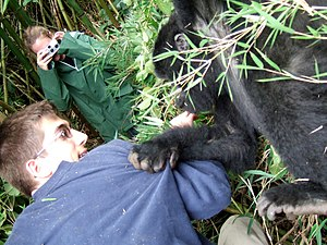 Volcanoes National Park - Young gorilla grabs tourist at Volcanoes National Park