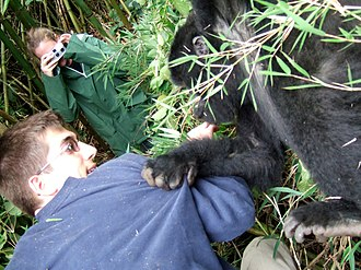 Volcanoes National Park - Young gorilla grabs tourist at Volcanoes National Park