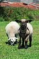 Young lambs photos by russty67.jpg