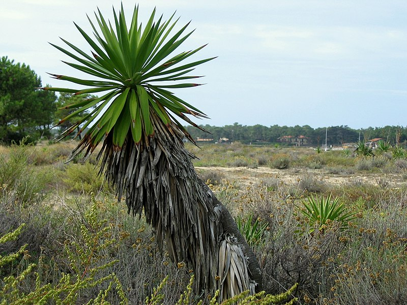 yucca geant