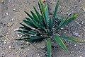 Yucca filamentosa fh 1182.6 SC B.jpg