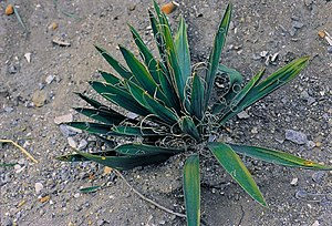Altes Exemplar von Yucca filamentosa in South Carolina.