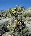 Yucca schidigera fh 1183.31 NV B.jpg
