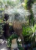 Yucca thompsoniana (TS213984).jpg