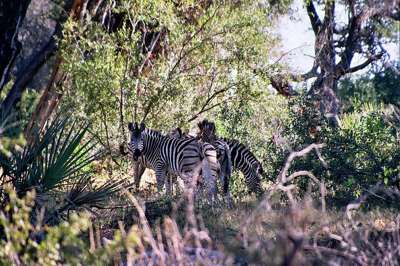 File:Zebra-Okavango Delta.jpg