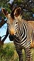 Zebra (8137989014).jpg
