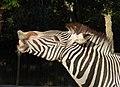 Zebra July 2008-1.jpg