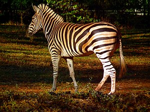 Zebras are African equids best known for their...