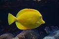 Zebrasoma flavescens 004a.jpg