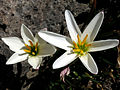 Zephyranthes candida, Zephirblume.JPG