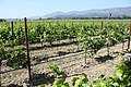 Zinfandel Vineyard in Napa County.jpg