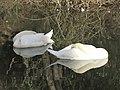Zoo des 3 vallées - Cygne - 2015-01-02 - i3327.jpg