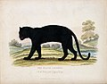 Zoological Society of London; a black leopard. Coloured etch Wellcome V0023110.jpg