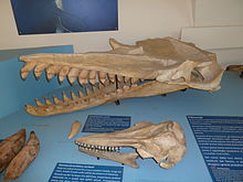 The killer sperm whale skull is behind the skull of the other whale, and is seemingly twice as long