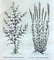 """Salsola soda, des marais dAntibes, Salicornia, des marais dAntibes"".jpg"