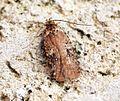 (0691) Agonopterix purpurea - Flickr - Bennyboymothman.jpg