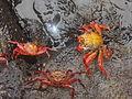 (Grapsus grapsus) Puerto Ayora Galápagos Islands pic. a2.JPG