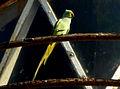 (Psittacula krameri) rose ringed parrot at Bheemunipatnam 01.jpg