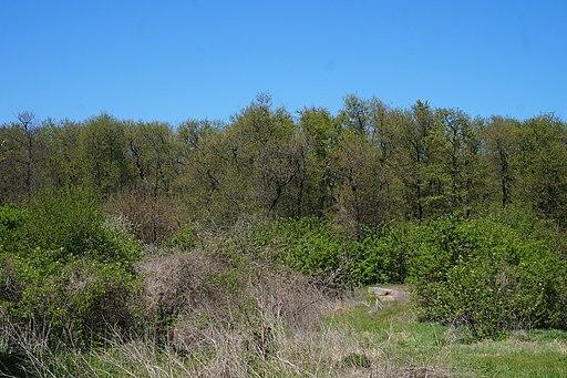 Акацієвий ліс біля села Стара Збур'ївка (4)