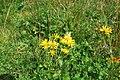 Безіменне групи Веснянки N48.119778 E24.569694 Арніка гірська - червонокнижна (v).jpg