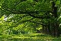 Зелений тунель в парку вінницької психіатричної лікарні P1120544.jpg