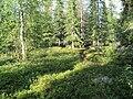 Лес близ озера Юмас.JPG