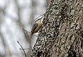 Обыкновенный поползень - Sitta europaea - Eurasian nuthatch - Горска зидарка - Kleiber (24884066879).jpg