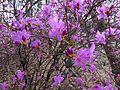 Рододендрон у дендропарку IMG 2913.jpg