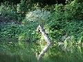 Утоплена колода на річці Псел (Заказник Хорішки).jpg