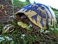 Шипоопашата костенурка Testudo hermanni.jpg