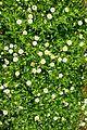 פרחים בישראל (41).JPG