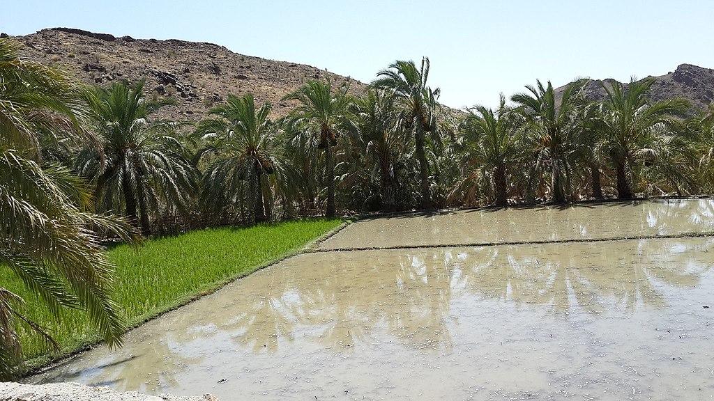 مزارع شالیکاری کوپچ