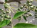 உதிய மரம்3(Lannea coromandelica).jpg