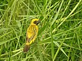 นกกระจาบทอง Asian Golden Weaver by Peak Hora 05.jpg