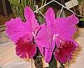 卡特蘭屬 Cattleya labiata v rubra -香港沙田洋蘭展 Shatin Orchid Show, Hong Kong- (9200883898).jpg