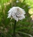 東方羊鬍子草 Eriophorum angustifolium -挪威 Bøyabreen Glacier, Norway- (36061026856).jpg