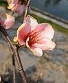 東洋錦海棠-鐵骨丹心 Chaenomeles x superba 'Japanese Colour' -南京莫愁湖 Nanjing Mochou Lake, China- (33491450121).jpg