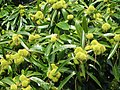 歐洲栗 Castanea sativa -英格蘭 Grasmere, England- (9216101788).jpg