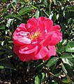 玫瑰 Rosa Sweet Cover -波蘭華沙 Powsin PAN Botanical Garden, Warsaw- (36579825236).jpg