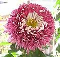 菊花(蓮座型)-紫雲 Chrysanthemum morifolium Lotus-plate-tubular-series -香港圓玄學院 Hong Kong Yuen Yuen Institute- (9200945898).jpg